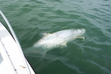 Clearwater Fl Tarpon Charters