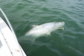 Tarpon caught on Fat Cat Fishing Charters