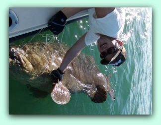 Capt Brad with a 450 lb Goliath Grouper release.