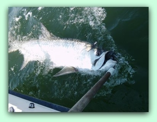 150 pound Tarpon caught by 16 year old Mat on fat cat fishing charters.